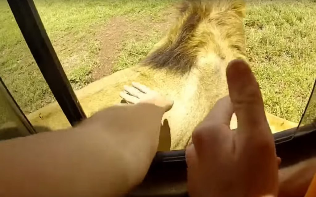 petting safari park lion